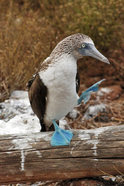 Blue-Footed Booby dance in the galapagos islands