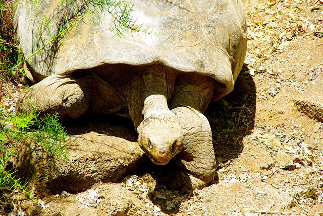Galapagos Tortoise at the Charles Darwin Research Station