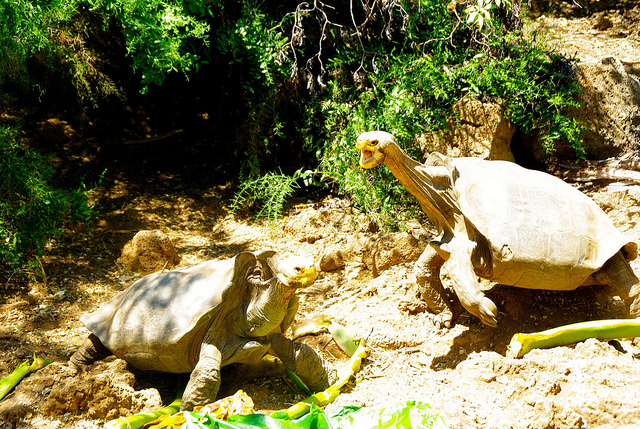 Two Galapagos Tortoises at the Charles Darwin Research Station in the Galapagos Islands