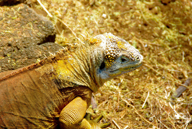 Land Iguana at the Charles Darwin Research Station in the Galapagos Islands