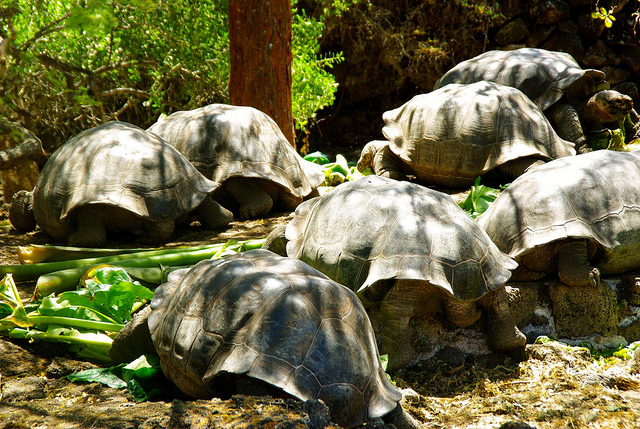 Group of Galapagos tortoises at the Charles Darwin Research Station