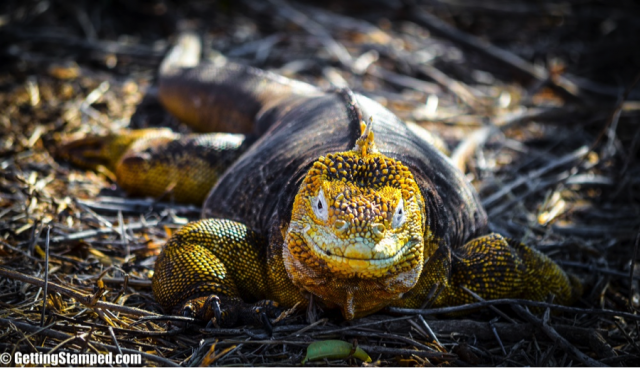 Yellow Land Iguanas of the galapagos islands