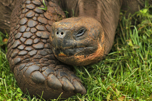 Saddle-Backed Giant Tortoise