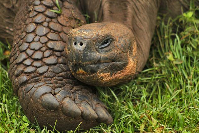 Saddle-Backed Giant Tortoise