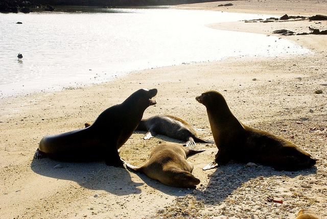 sea lions laying on the beach in the galapagos islands