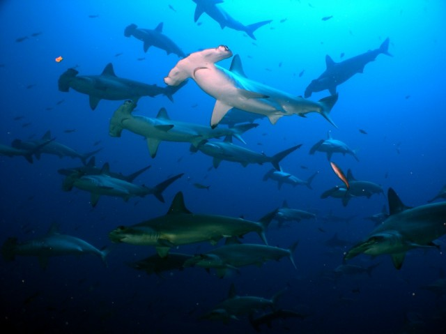 diving with sharks in the galapagos islands