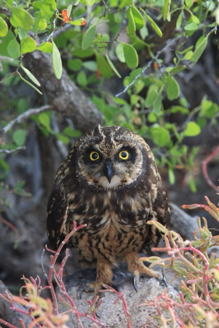 short-ear-owl