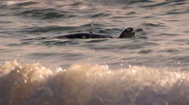 Galapagos Sea Turtle in Surf, Floreana
