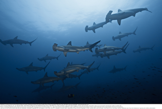 Sphyrna lewini schooling photograph, made by pro photographer Brandon Cole on assignment in the Galapagos Islands