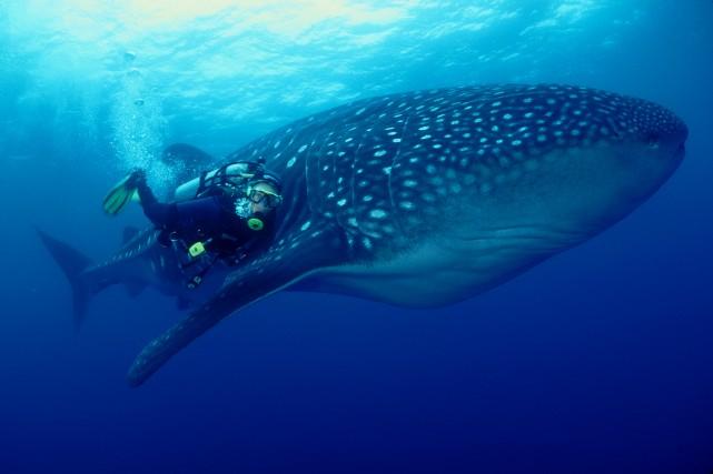 WhaleShark Amos Nachoum