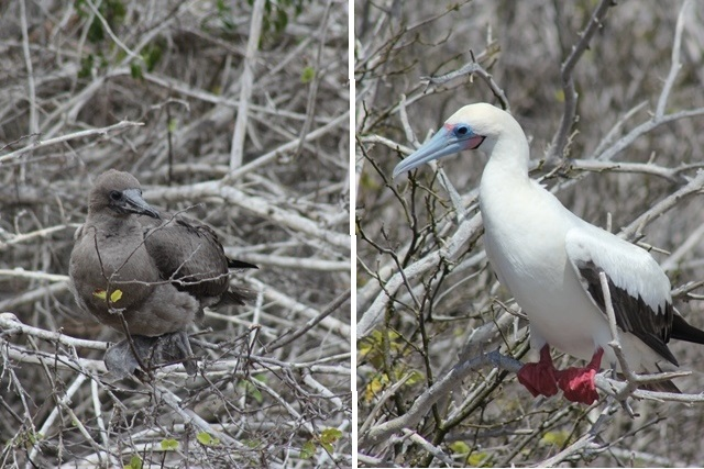 baby Red footed boobies in the Galapagos