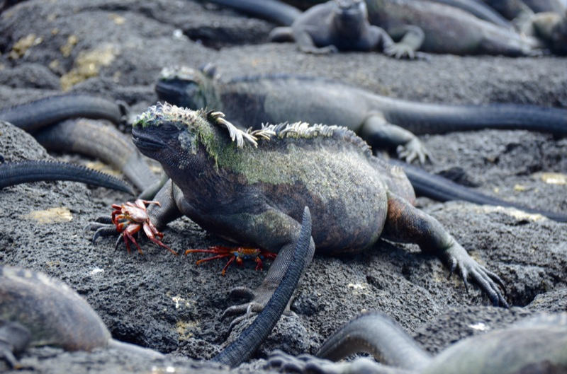 iguana-rr