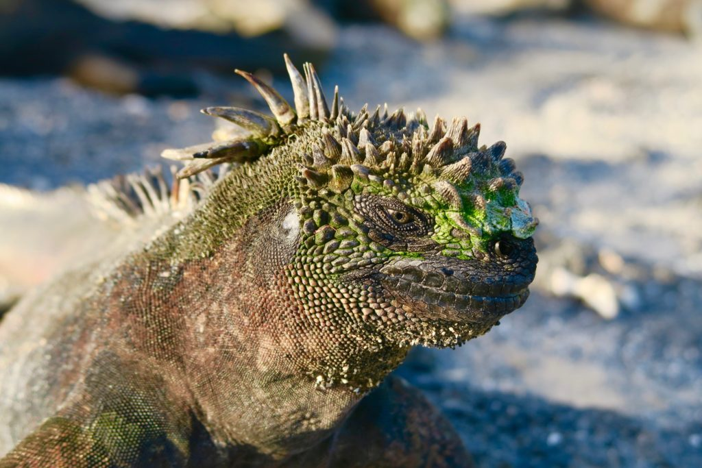 Marine-Iguana-in-the-Galapagos-1024x683