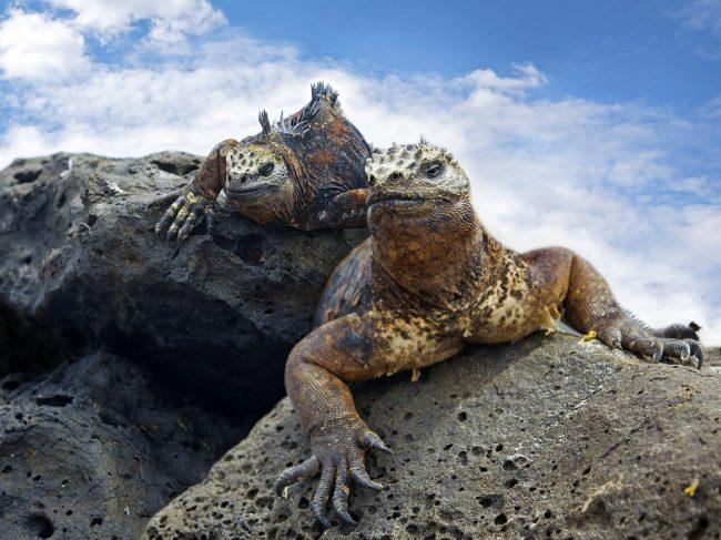 GalapagosMarineIguanas